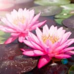 pink-lotus-beautiful-waterlily-with-sunlight-and-flare_1428-303