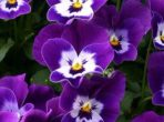 viooltje-1491552854